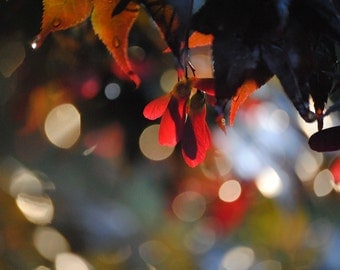 Nature Photography  Japanese Maple Seeds  fine art photography with abstract background Midnight Blues