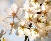 White Cherry Blossom Tree, Flower Photography, Floral Photo Print - They Come In Peace