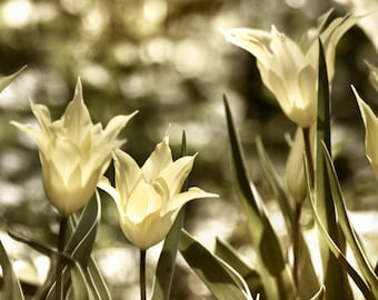 Tulips Photo, Flower art, Flower Photograph, Flower Photography, bathroom decor, Olive green, yellow wall art, Yellow Decor