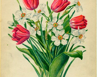 A Bouquet of Tulips and Narcissus Vintage Illustration by Edith Johnston from A Book Of Garden Flowers