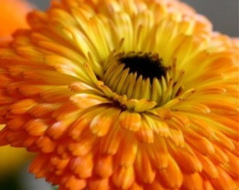 Calendula Flowers Herbal Salve Skin Soothing Irritated Dry Chap Itchy Inflamed Skin