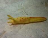 Goldie the slug