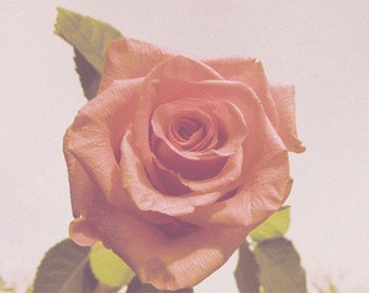 Old Fashioned Rose fine art photograph
