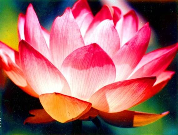 Brilliant Lotus Flower Color Photograph