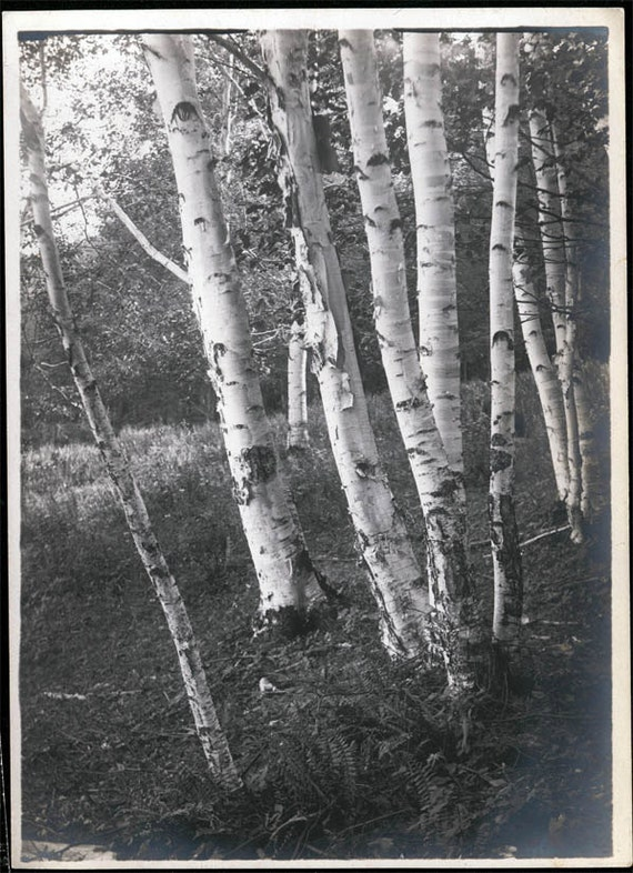 vintage photo 5X7 Birches Trees Vermont 1919 Beautiful