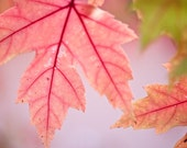 Photography  maple leaves  Acer  light flooded  Pink decay //  calming photography  nature   pastel  botanical