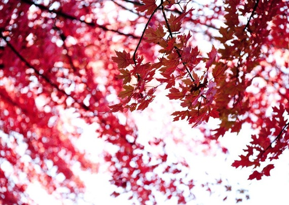 Autumn photography / red maple / Coloured Excitement //  photography / cherry red / scarlet