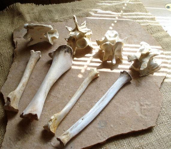 Assortment Aged Leg & Vertebrae Bones Desert Critters, Coyote, Deer, Cow Altered Art Assemblage
