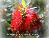 Bright Red Close Up Of The Flower On A Bottlebrush Tree, Holiday Feel, 8x6