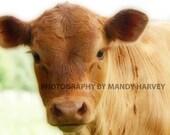 Calf Photograph, Nature Photograph, Baby Animals, Nursery Picture, 9X6 Photograph, Home Decor. Soft Focus