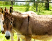 Donkeys In Soft Focus, Nature Photograph, Animal print, Nursery Picture, 9X6 Photograph, Home Decor