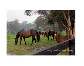 Mares With Foals On A Wet Day, New South Wales, Australia, 9X6 Photograph, Horse Photograph
