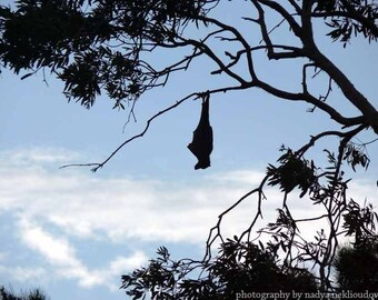 Flying-Fox Dreaming - wildlife photography print, size 8x10 inches (20x25cm) - wild Australian animal
