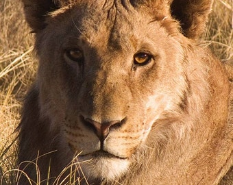 Young Lion Portrait - photo print 8x10 inches (20x25cm) - wild animal in Africa
