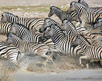 Flight of the Zebras - photo print  8x10 inches (20x25cm) - fine art wildlife photography of African animals