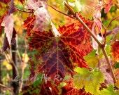 Autumn In The Vineyard...