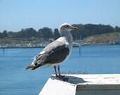 Resident Seagull