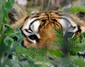 Photo Notecard - Tiger Eyes