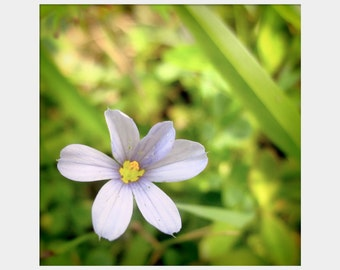 Tiny Flower Photo, Prairie Blue-Eyed Gras, Purple Green Art, Wildflower Photo, Pretty Flower Photo, Floral Photograph, Macro Nature Photo