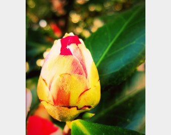 Camellia Photograph,  Floral Photo Art, Hot Pink Yellow Green, Macro Flower Photo, Spring Bloom, Bold Floral Decor, Nature Photo Print