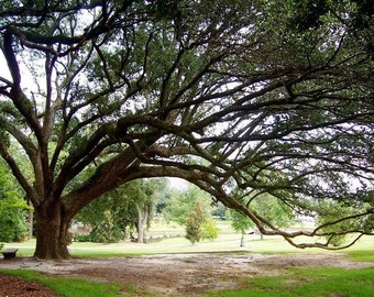 Live Oak Tree Photo, Sprawling Branches, Green Brown Wall Art, USM Campus Photo, Tree Branches Art, Deep South Nature, Mississippi Nature