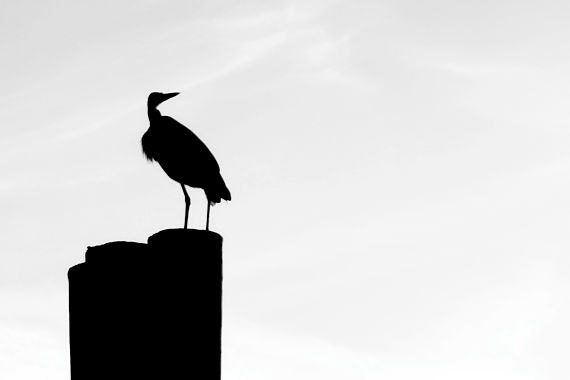 Heron Silhouette: a black and white fine art photograph print of a perching bird (great blue heron)