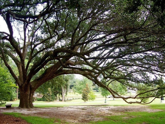 Live Oak: a fine art photograph print of a sprawling live oak tree with many branches and green leaves