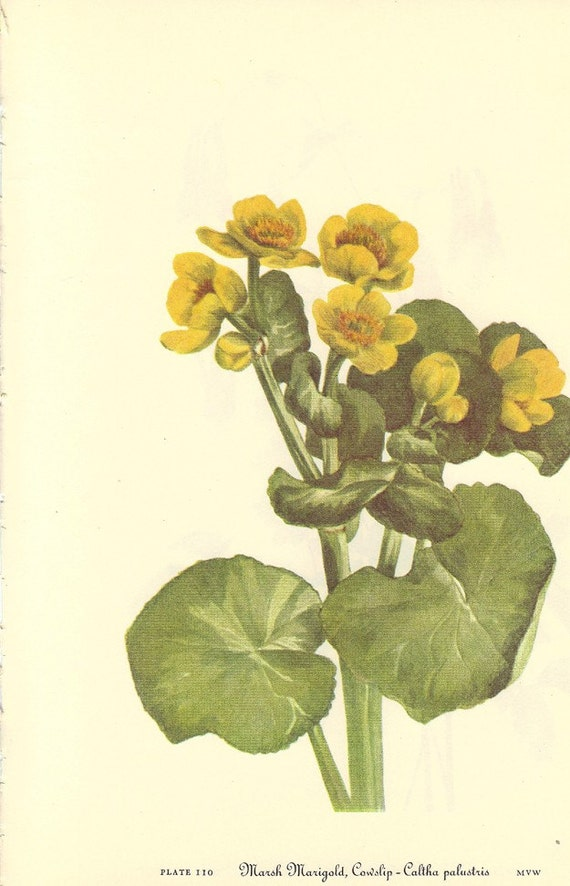 Vintage 1953 Color Print Wild Flowers of America Columbine and Marsh Marigold