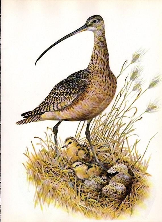 Vintage Color Bird  Print  - Unique 2 Page Set - Long Billed Curlew with Full Description Page - Reduced