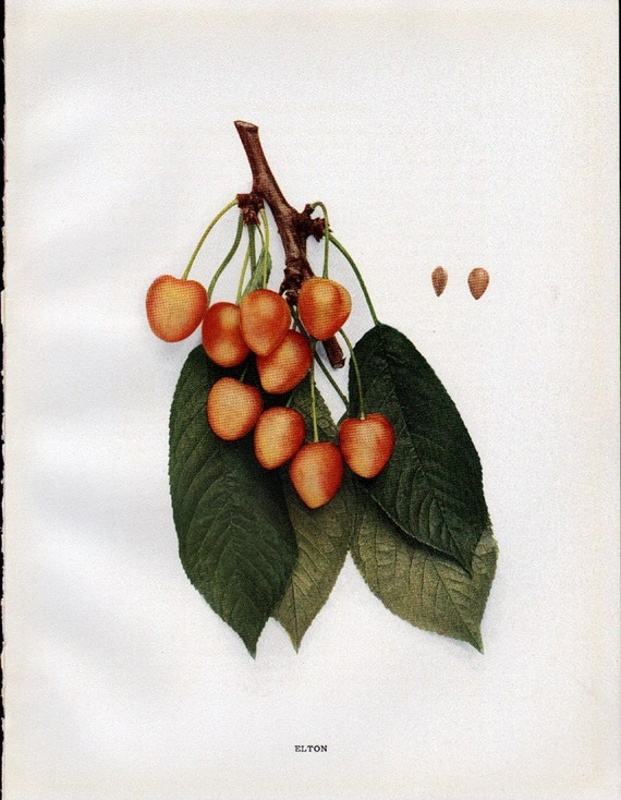 Antique 1915 Cherry Branch with Fruit Print - Bookplate - Elton  - Reduced