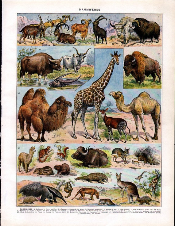 Set of 2 Vintage Color Prints of Animals Mammals  from the French Encyclopedia Nouveau Larousse Illustre Plate - Reduced