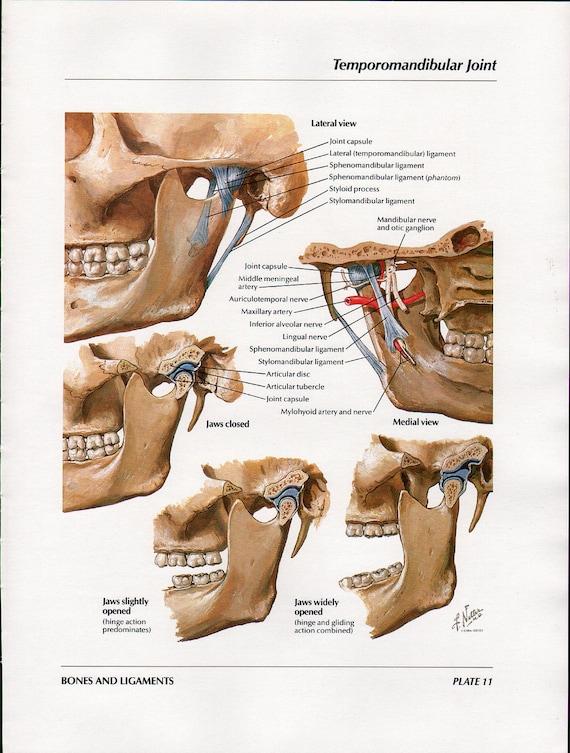 Jaw bone anatomy