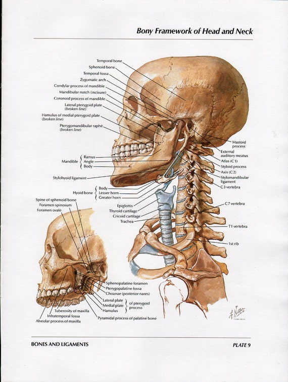 head and neck bones full color vintage print atlas of human, Human body