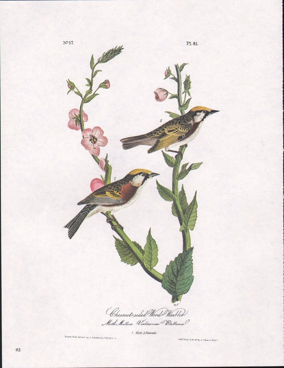 Warblers Audubon Bird Vintage Print For Framing