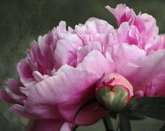 Sho Yu - Pink Peony Photo Metallic Art Print
