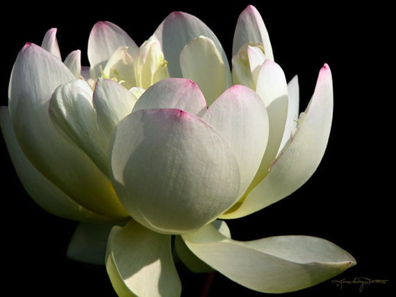 Elegance - White Lotus Photo Art
