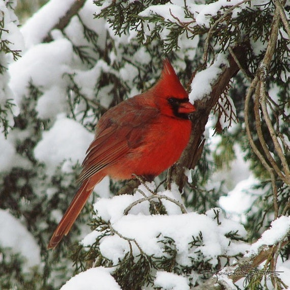 Articles similaires cardinal rouge dans la neige de l for Fenetre a cardinal