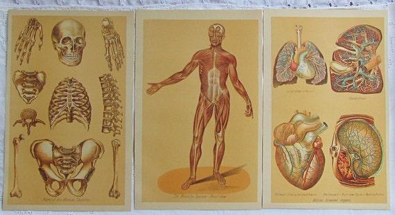 1901 Paper Ephemera....Human Body..Muscular System..Human Skeleton