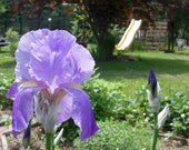 Grape 'PEZ' Scented Purple Iris rhizomes / bulbs / DebRobinson / debrobinson/