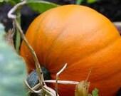 Great Pumpkin seeds
