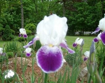 German Iris / Iris Rhizome / Purple and White German Iris / Old Fashioned Iris / Spring Garden Iris