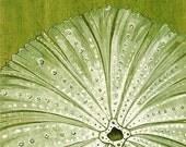 Moss Green Urchin--8x10