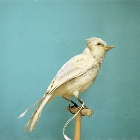 Natural History Large Wall Art of White Bird - Albino Blue Jay - 42x42 Photograph Print