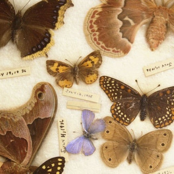 Natural History Butterfly Photograph Print - July Butterflies