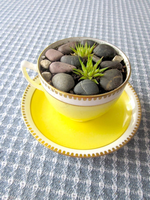 Tea Time - Succulent potted plant in Bone China Teacup
