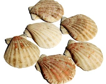 Scallop Shells  -  6 Tan, Pink, and White (Number 6)