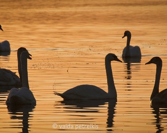 Under the sleeping sun 6x12 inches fine art photo print Silhouettes of swans at sunset Orange home decor black wall art Animal lover gift
