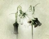 Dandelion Photo Botanical Photography Nature Art Print 5x5 Minimalist Vintage Style Wispy White Make a Wish Modern Home Decor Photograph