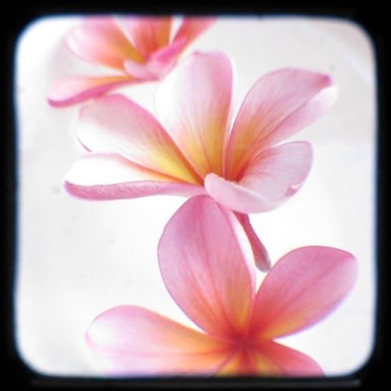 Flower Photography Pink Yellow Frangipani Plumeria 5x5 TTV Spring Wall Decor Floral Art Print Nature Photography, Tropical Home Decor