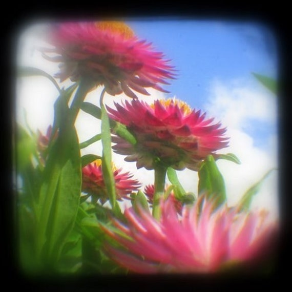 Pink Flowers Photo 4x4 TtV Colorful Flower Photography Nature Print - In Bloom Girly Floral Art - Blue Summer Sky Garden Delights Home Decor